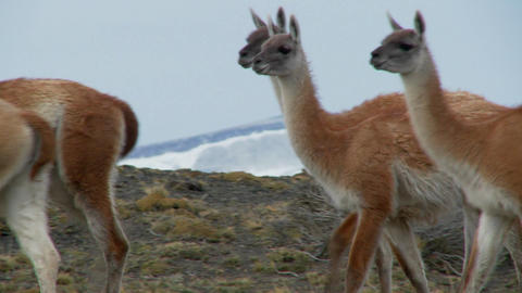 Guanacos walk together in formation in the Andes... Stock Video Footage