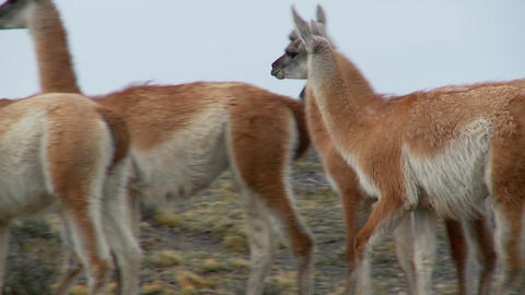Guanacos walk together in formation in the Andes mountains, Patagonia, Torres Del Paine Footage