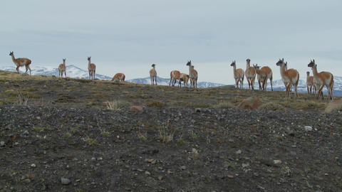 Guanacos stand together in formation in the distance in the Andes mountains, Patagonia Footage