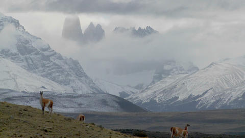 Guanacos stand together in formation in the distance in... Stock Video Footage