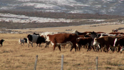 Dogs works over cattle in the fields on a ranch Footage