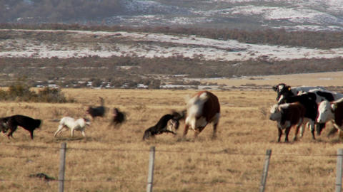Dogs works over cattle in the fields on a ranch Stock Video Footage
