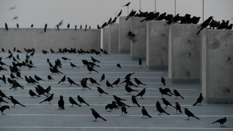 Pan across many black birds sitting in a parking structure in a scene reminiscent of Alfred Hitchcoc Footage