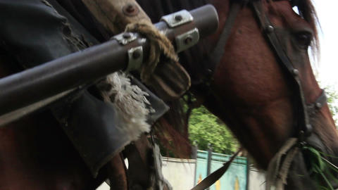 Close up harnessed horse grazing eats grass village countryside Footage