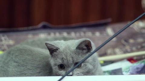 British little kitten tries to catch stick Live Action