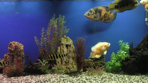 Exotische Fische im Aquarium Stock Video Footage
