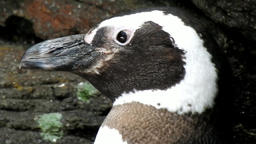 Flightless Birds And African Penguins Live Action