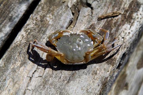 A Small Crab At The Pier. close up photo フォト