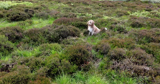Scottish dog sitting in field in the wind Live Action