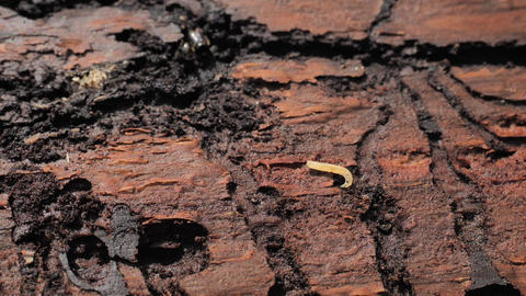 Dead spruce tree destroyed by wood worm in National Park. Wood affected with woodworm typographus Live Action