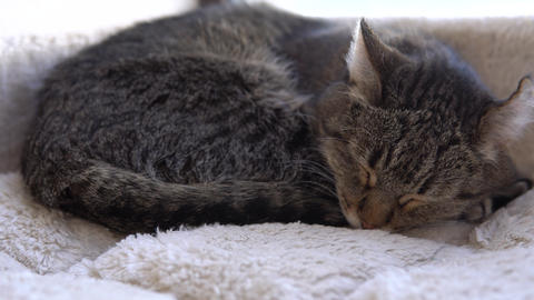 The tabby cat is sleeping. The cat lies on a plaid close-up Live Action