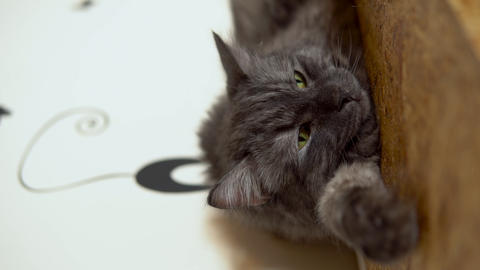 Maine Coon cat close-up. The gray cat lies on the closet. Vertical video Live Action