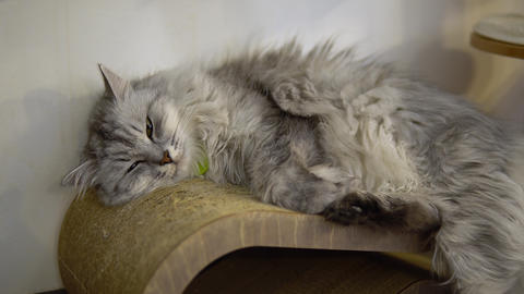 The gray cat lies against the wall at the site. The cat falls asleep Live Action