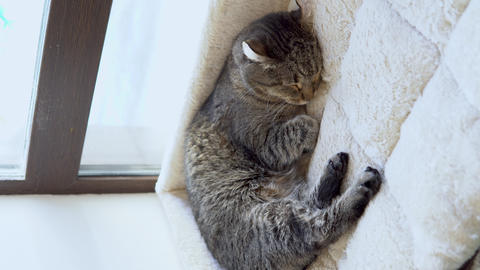 The tabby cat is sleeping. The cat lies on a plaid close-up. Vertical video Live Action