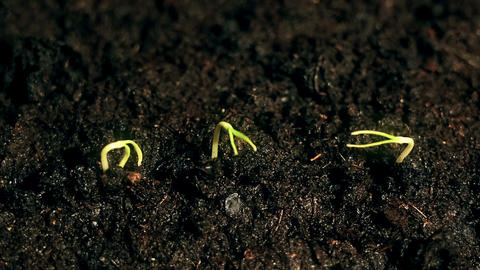 three Small green plants growing, sprouts germination process on black Live Action