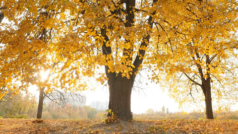 Beautiful autumn landscape. Bright rays of the sun through the leaves of trees Live Action