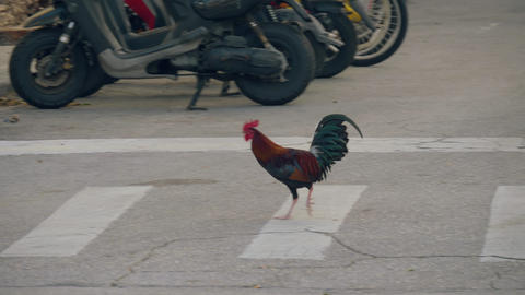 Rooster crosses the road at a pedestrian crossing Live Action