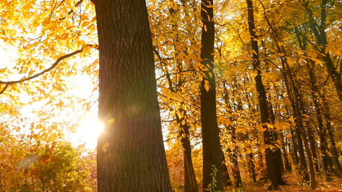 Squirrel runs through the autumn forest. Sun's rays shine brightly through the Live Action