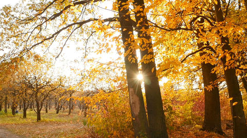 Bright rays of the sun in the autumn forest. Colorful landscape with yellow Live Action