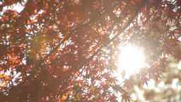 Autumn Leaves / Fall Colors / Backlight - Musashino Park (Tokyo, Japan) - Field  Live Action