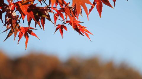 Autumn Leaves / Fall Colors / Blue Sky - Musashino Park (Tokyo, Japan) - Field R Footage
