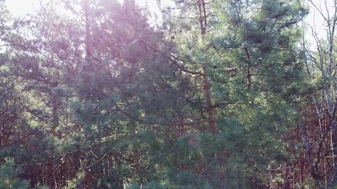 Beautiful Sun's rays through tops of trees, sun shines through foliage Live Action