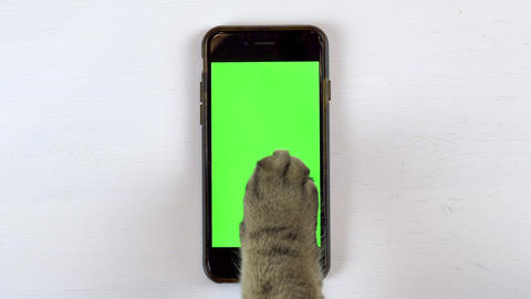 The cat uses a phone. The paw of a cat makes swipe on the gadget and puts likes Live Action
