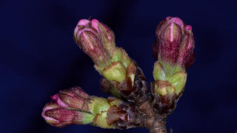 Closeup of buds of cherry blossoms in the night. They will bloom in a few days Live Action