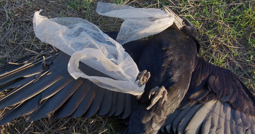 Dead black crow tangled in plastic bag. Environmental disaster. The human impact Live Action