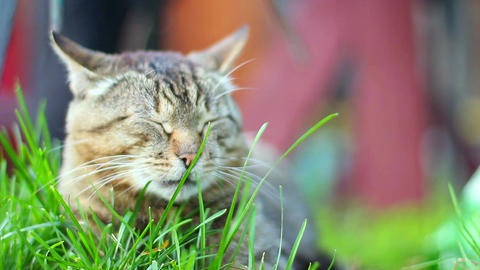 Cute domestic cat lying in grass, taking rest eyes closed Footage