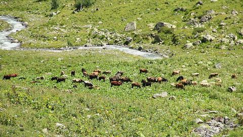 Cattle grazing on mountain meadow, stream flowing between rocks Footage