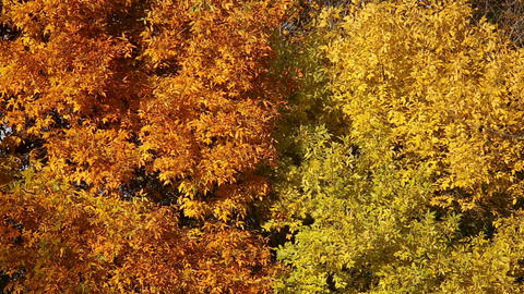 Autumn leaves on the trees Footage