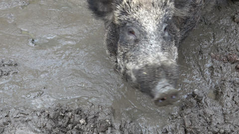 Central Europe wild boar in the mud (Sus Scrofa) Live Action
