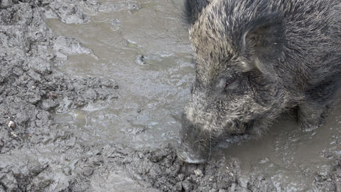 Piglet and adult wild boar, Sus scrofa, searching for food in the mud Live Action