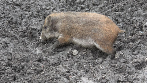 Wild boar baby searching for food in the mud Live Action