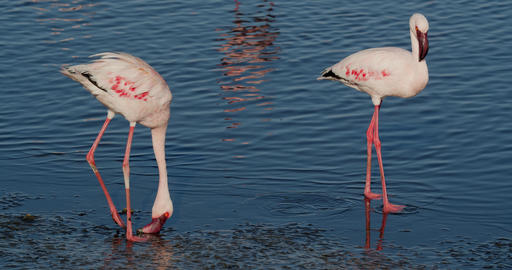 Two flamingos are fighting over some food, exotic animals of Namibia, 4k Live Action