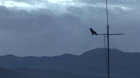 a crow on a tv antenna Live Action