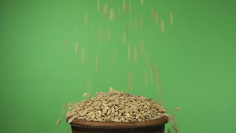 Pearl barley grains fall into a crowded clay bowl and fall out of it. Isolated Live Action