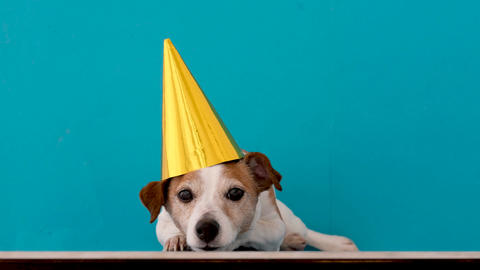 Calm small Jack Russell Terrier dog in funny unicorn headgear Live Action