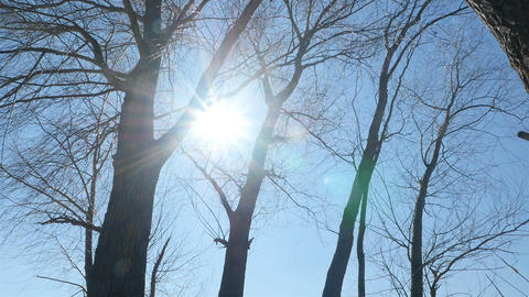 Trees without leaves against the blue sky. Bright sun rays. Camera in motion Live Action