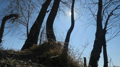 Tall trees against the blue sky. Bright sun. Bottom view. Camera in motion Live Action