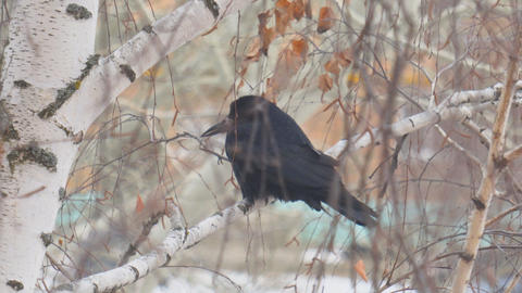 Black jackdaw bird sits on the branches of a birch tree in the cold autumn Live Action