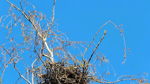 Grey heron Ardea cinerea fly on nest in birch tree and fly away Live Action
