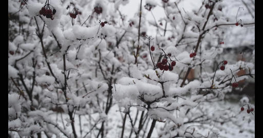 Close-up of red berries growing under snow on sunny winter day. Male Caucasian Live Action