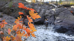 Maple fall leaves and flowing mountain river Live Action