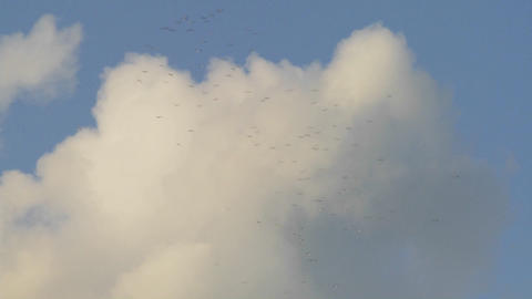 Flocks of birds fly against thunderhead clouds Stock Video Footage