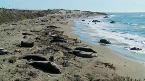 Large groups of elephant seals lie on a beach in Central... Stock Video Footage