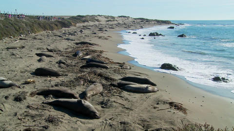 Large groups of elephant seals lie on a beach in Central California Footage