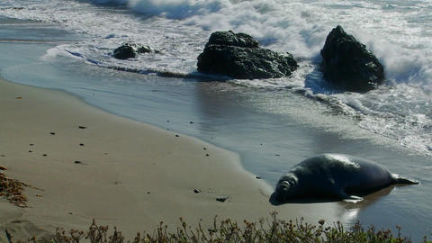 An elephant seal lies in the surf Footage