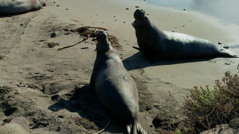 An elephant seal lies in the surf Stock Video Footage